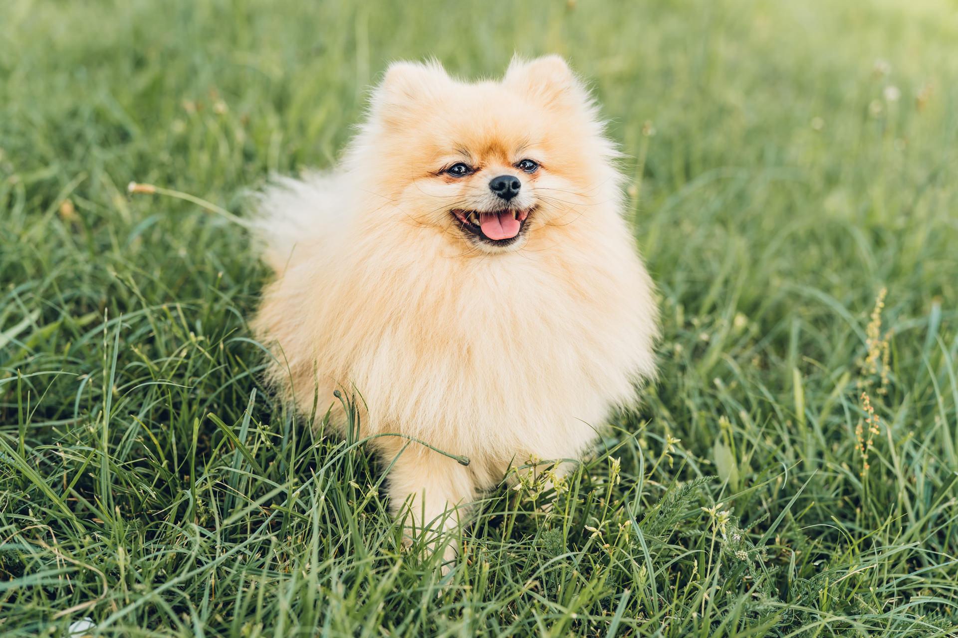 Zwergspitz Hund Fotografie
